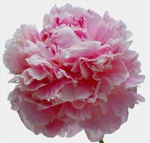 Picture of pink carnation