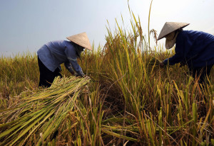 Farmers harvest rice on a rice field in