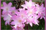 Amaryllis primavera
